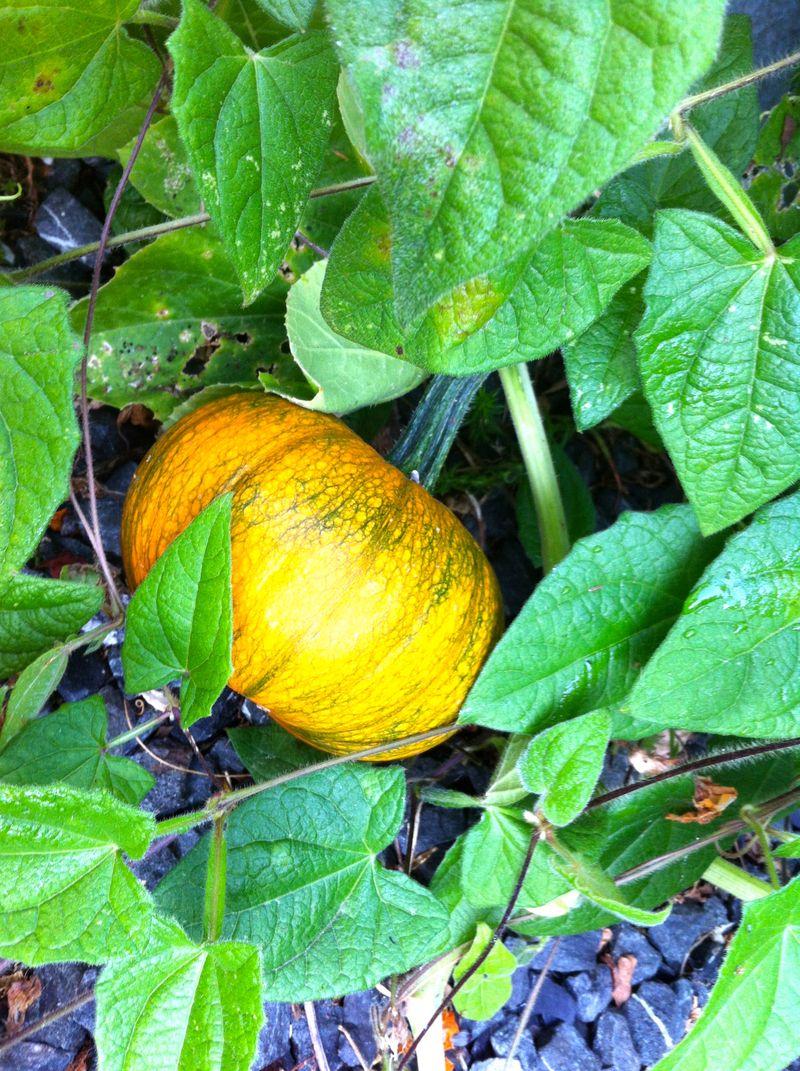 Equinox pumpkin