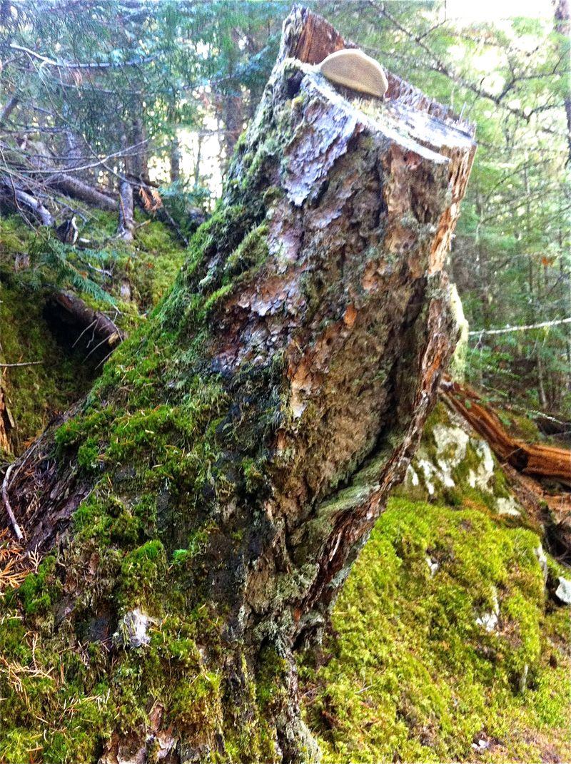 Whistler stump