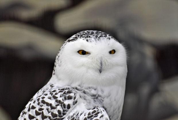 Snowy Owl Rodney Campbell