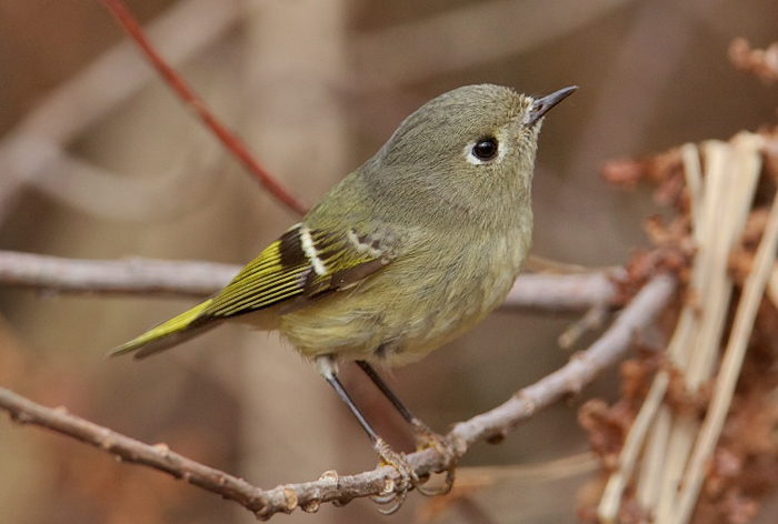 Female Ruby-crowned Kinglet © Gregg Thompson
