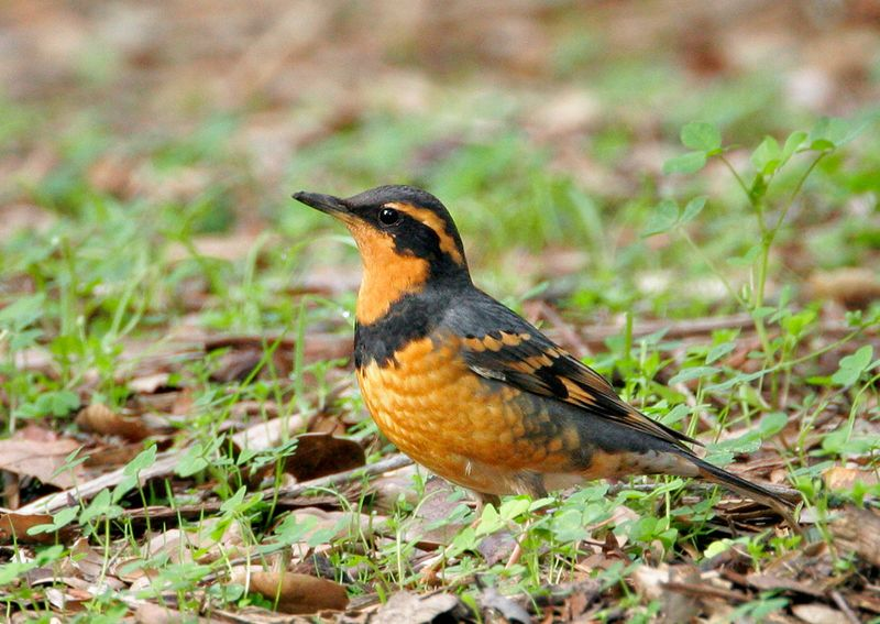 Varied Thrush male © Tom Grey
