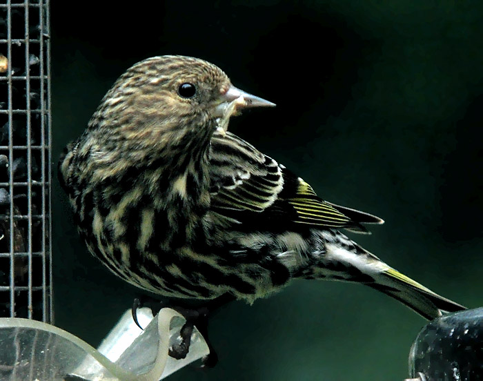 Pine Siskin at feeder © Mike Hamilton