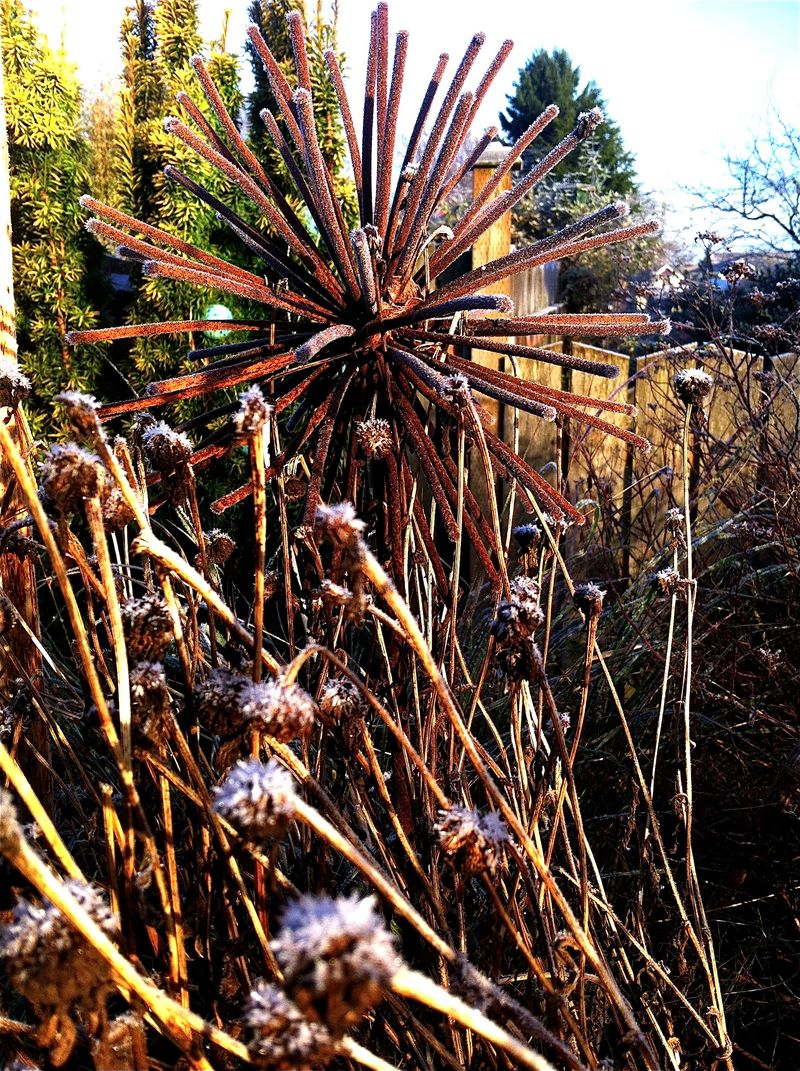 Frosty allium