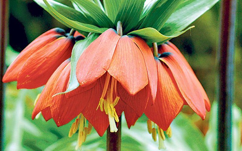 Fritillaria-imperi_2361222k