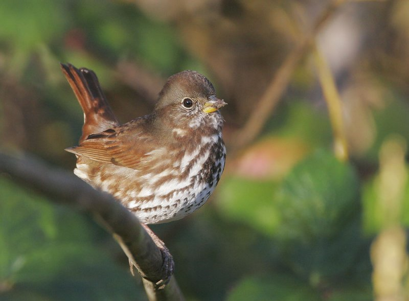 Fox Sparrow © Tom Grey