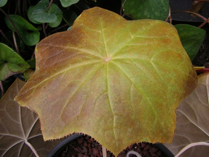 Podopyllum Pleiantha fall color Bouquet Banque Nursery