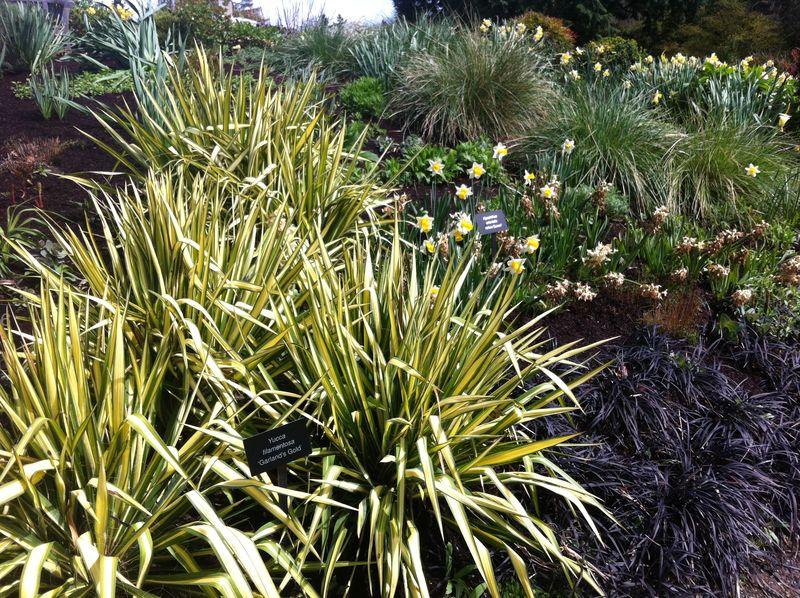 Yucca filamentosa 'Garland's Gold'