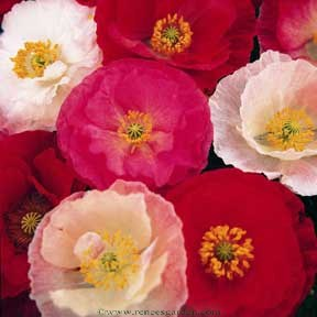 Poppy-shirley