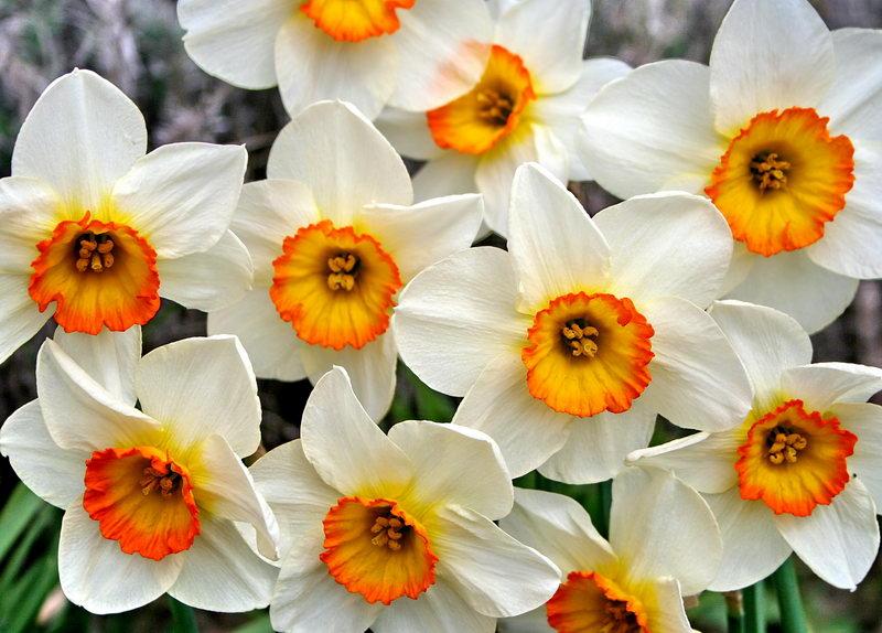 Narcissus9