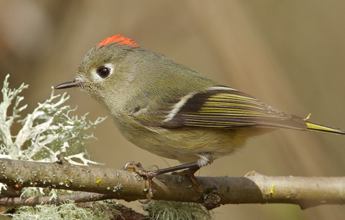 Male Ruby-crowned Kinglet © Gregg Thompson