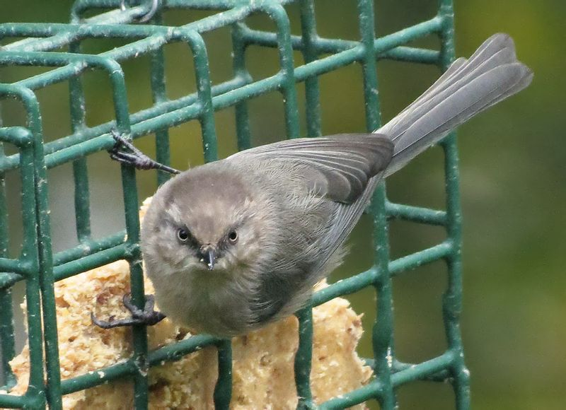 Female Bushtit on suet © Mike Hamilton