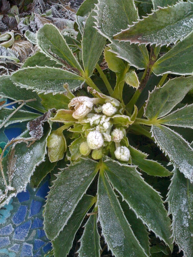 Frost hellebore