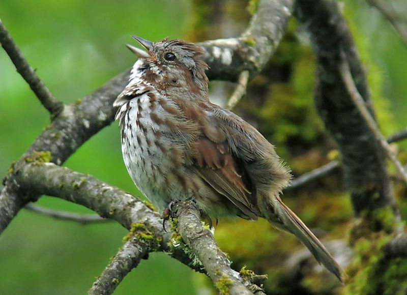 Singing Song Sparrow © Mike Hamilton