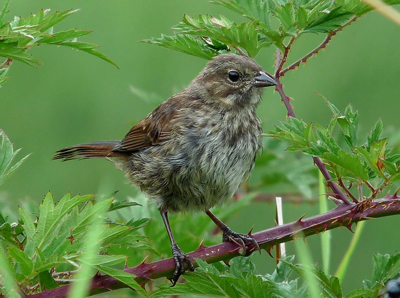Song Sparrow juvenile © Mike Hamilton