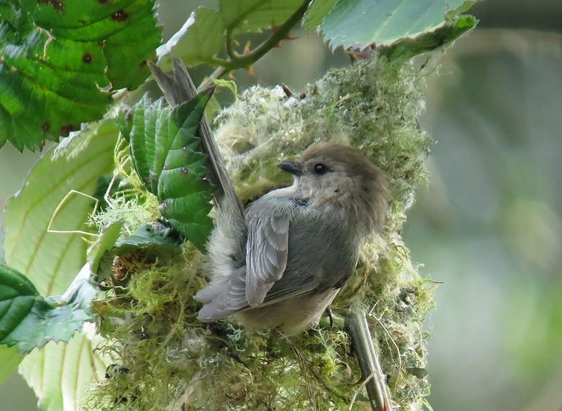 Male Bushtit at nest CUTE