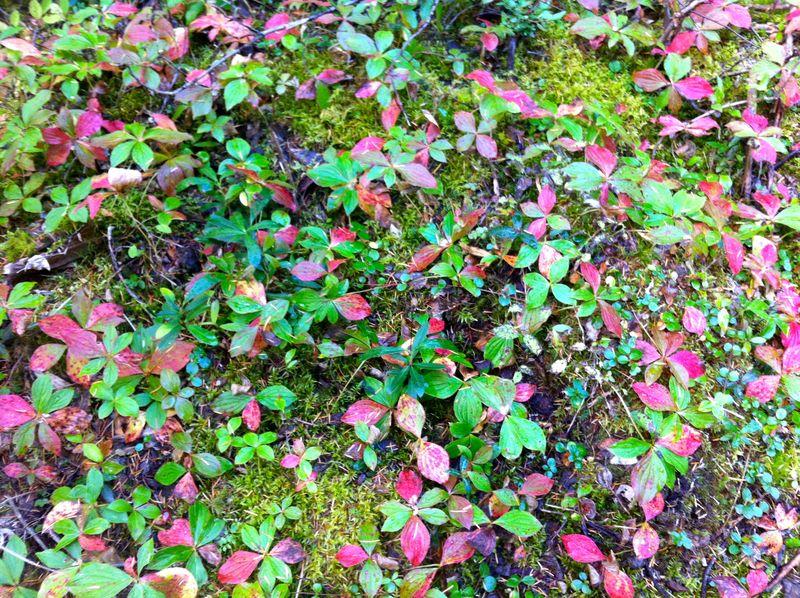 Whistler groundcover