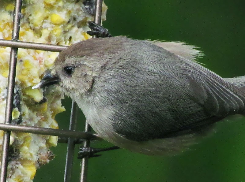 Male Bushtit on suet © Mike Hamilton