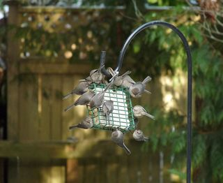 Bushtits on suet feeder Mike Hamilton