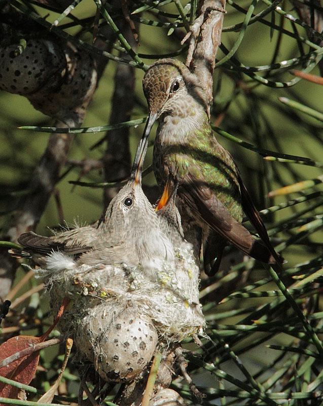 Anna's Hummingbird feeding young © Tom Grey