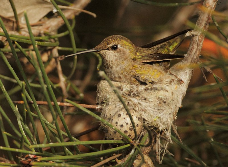 Anna's Hummingbird female on nest © Tom Grey