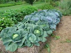 Straw-bale-gardening-lettucejpg-197e29adba7155c0