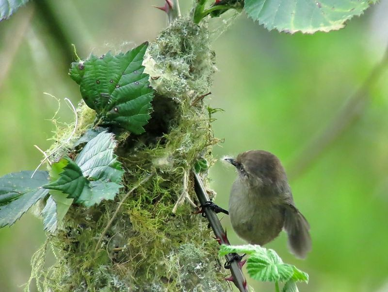 Female Bushtit with nest material