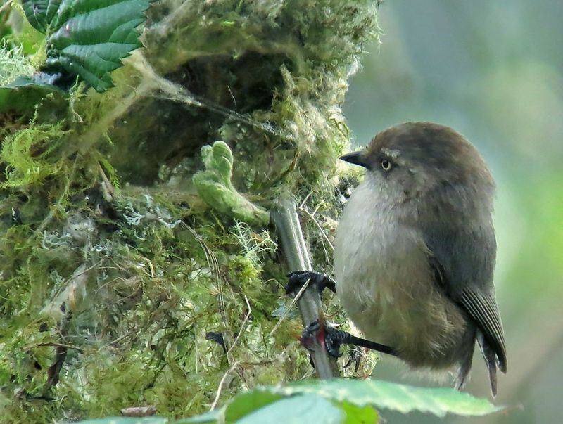 Female Bushtit at nest
