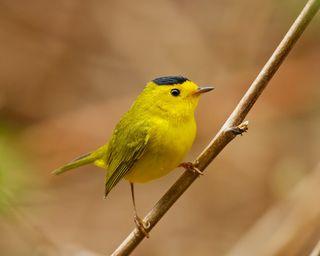 Wilson warbler little