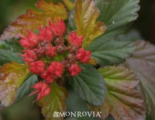 7467-coppertina-ninebark-bloom