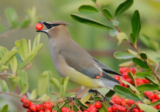Cedar Waxwing © Tom Grey