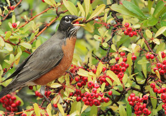American Robin © Tom Grey