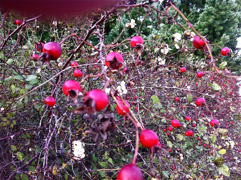Rose:snowberry