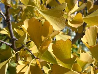 Ginkgo-autumn-gold-fall-1