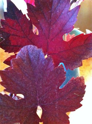 Grape leaves close