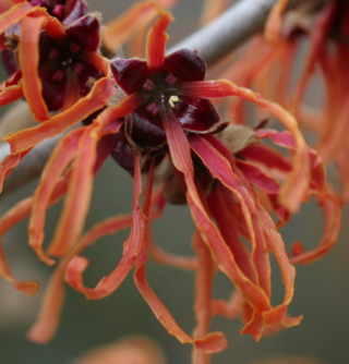 Hamamelis_jelena_close_crop_resize-2