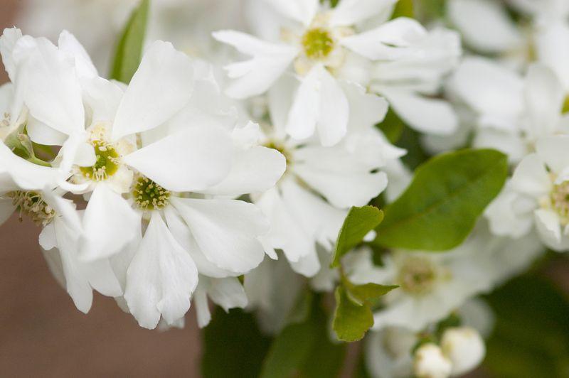 Lotus Moon Pearlbush - Flowers Close-up