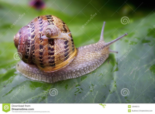 Baby-snail-12848213