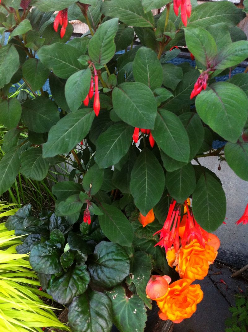Ibegonia:fuchsia