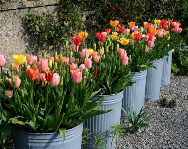 Helen-dillon-garden-ireland-tulips-in-garbage-bins-gardenista