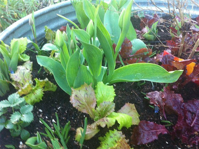 Lettuce:tulip