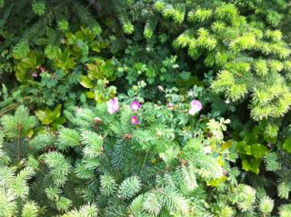 Rose through conifers