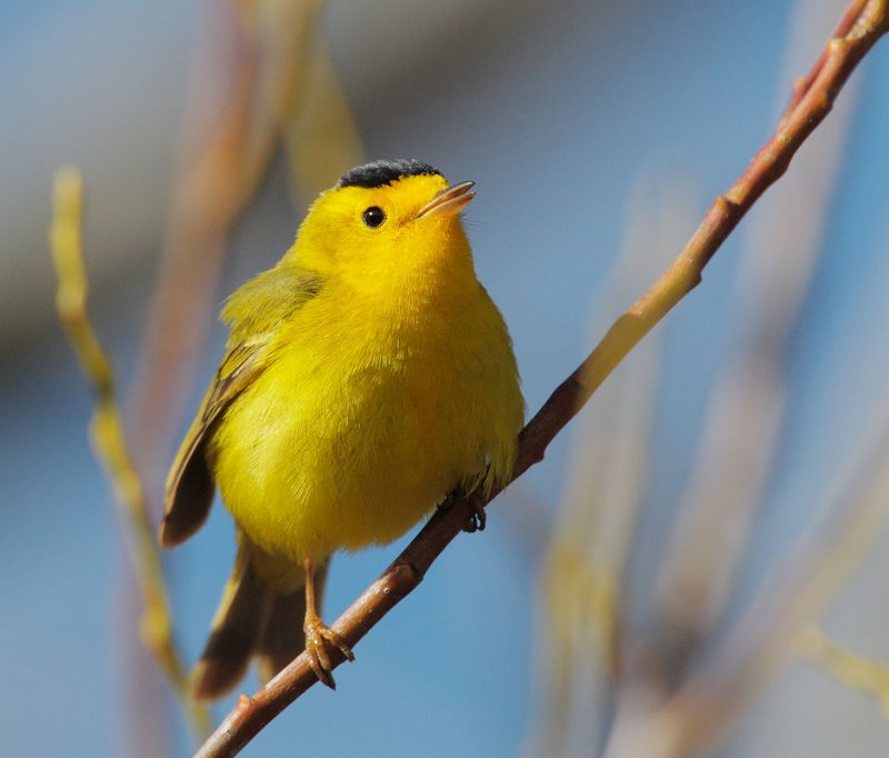 Male Wilson's Warbler © Tom Grey