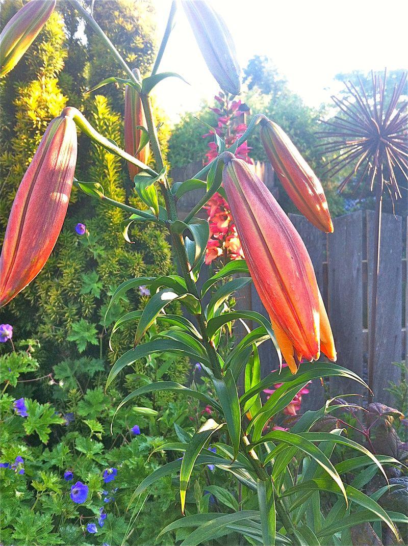 Budlilies
