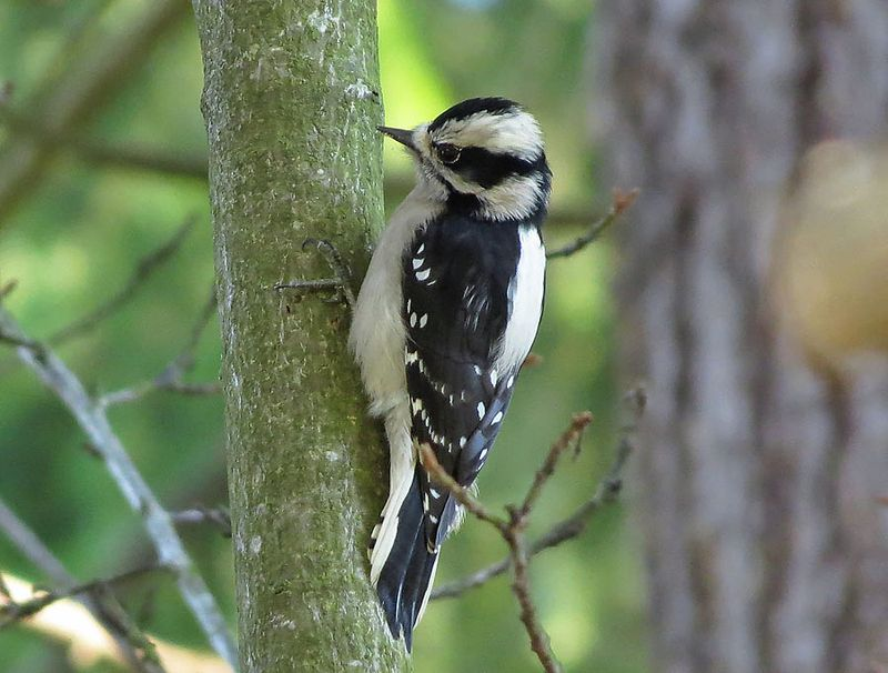 Female Downy Woodpecker © Mike Hamilton