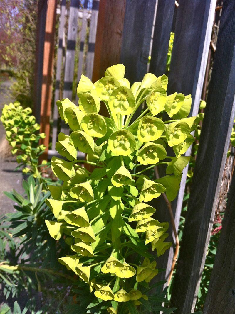 Euphorbia close