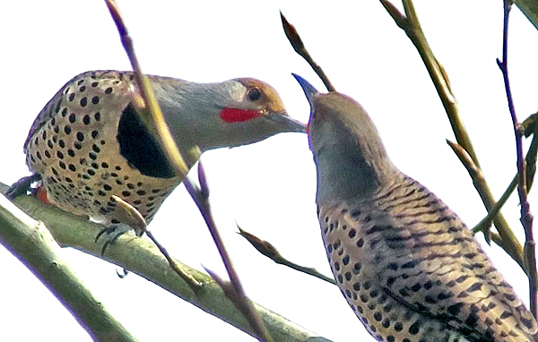 Male flickers fencing © Mike Hamilton