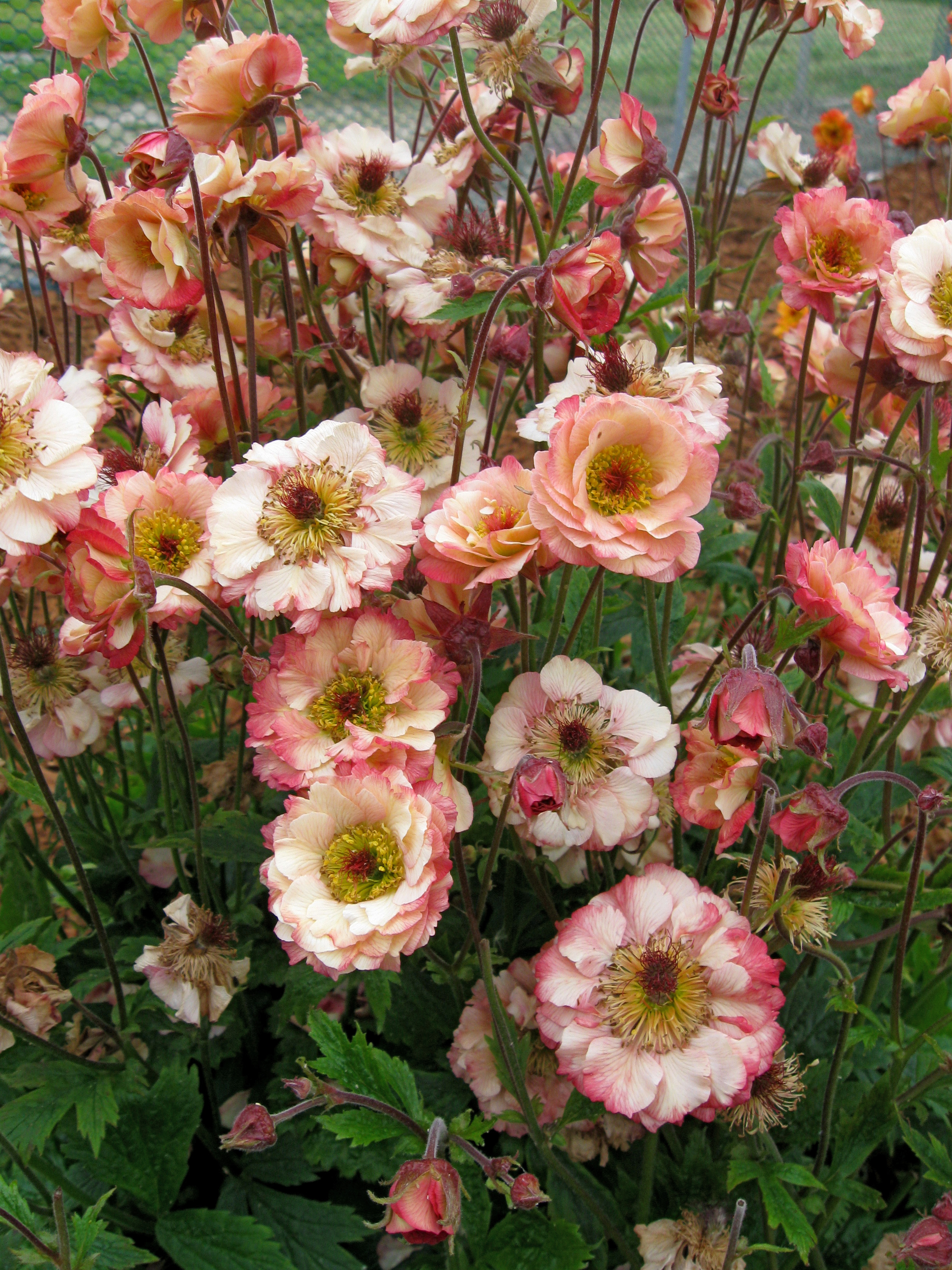 Plant Talk: Geum is a Gem of the Spring and Summer Garden