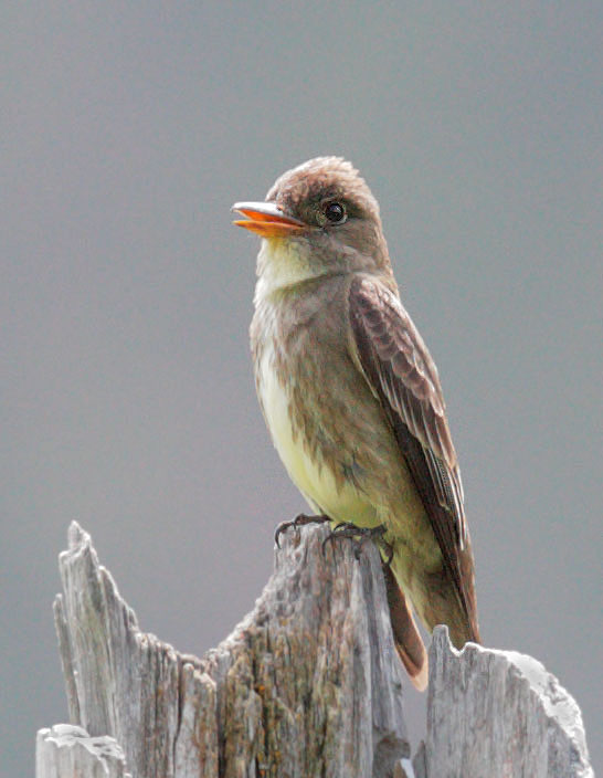 Olive-sided Flycatcher © Tom Grey