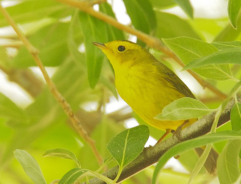 Female Wilson's Warbler © Tom Grey