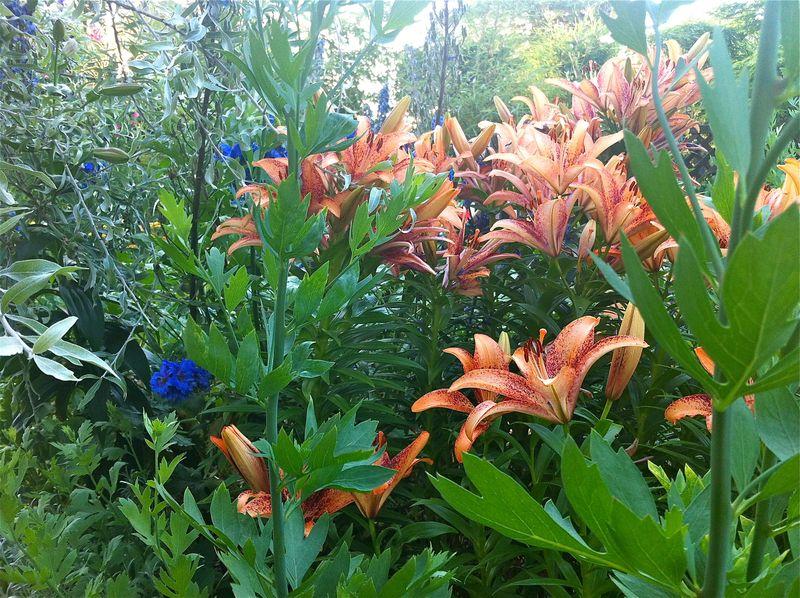 Lilies17